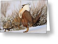 Sage Grouse Strut Greeting Card