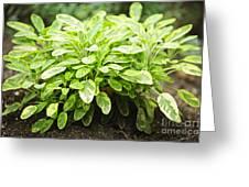 Sage Plant Greeting Card by Elena Elisseeva