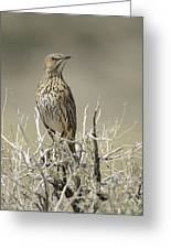 Sage Thrasher Greeting Card