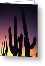 Saguaro Cactus Are Silhouetted By An Greeting Card