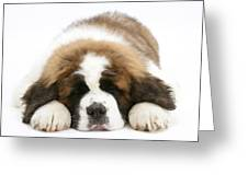 Saint Bernard Puppy Sleeping Greeting Card