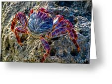 Sally Lightfoot Crab 1 Greeting Card