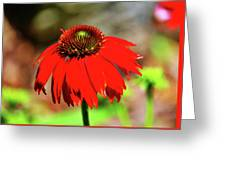 Salsa Red Coneflower Greeting Card
