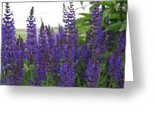 Salvia In The Spring Greeting Card
