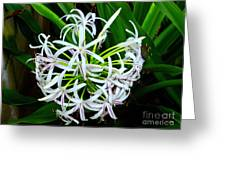 Samoan Spider Lily Greeting Card