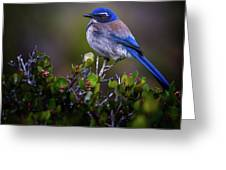 San Diego Bluebird Greeting Card