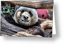 San Diego Zoo California Giant Panda Greeting Card