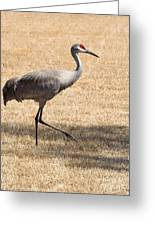 Sand Hill Cranes Greeting Card