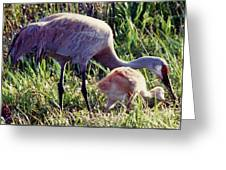 Sandhill Crane And Chick Greeting Card