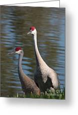 Sandhill Crane Couple By The Pond Greeting Card