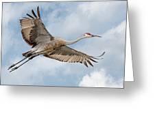 Sandhill Crane In Flight Greeting Card