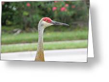 Sandhill Crane In Sarasota Greeting Card