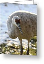 Sandhill Crane In Winter Greeting Card