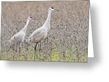 Sandhill Crane Stroll, Antigone Canadensis Greeting Card