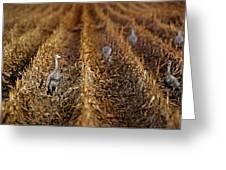 Sandhill Cranes - Cornfield Greeting Card
