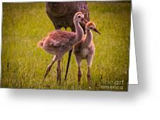 Sandhill Cranes Playing Greeting Card