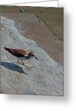 Sandpiper 04 Greeting Card