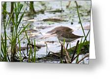Sandpiper Perched Greeting Card