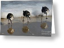Sandpipers Feeding Greeting Card
