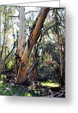 Santa Barbara Eucalyptus Forest Greeting Card
