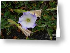 Santa Monica Mountains Sacred Datura Greeting Card