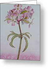 Saponaria Greeting Card