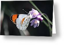 Sara Orange-tip On Wild Hyacinth Greeting Card