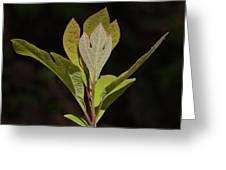 Sassafras Leaves Greeting Card