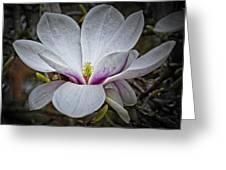 Saucer Magnolia - Magnolia Soulangeana Greeting Card