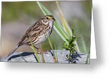 Savanah Sparrow Greeting Card