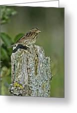 Savannah Sparrow.. Greeting Card
