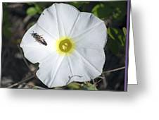Sawfly On A Beach Morning Glory Flower Greeting Card