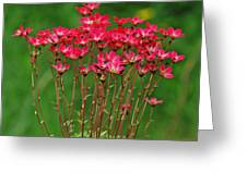 Saxifrage Greeting Card