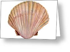 Scallop Shell Greeting Card by Amy Kirkpatrick