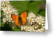 Scarce Copper 2 Greeting Card