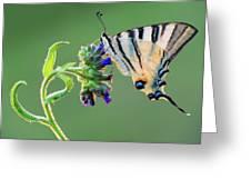 Scarce Swallowtail Greeting Card