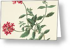 Scarlet Flowered Vervain Greeting Card