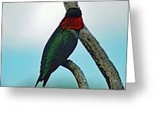 Scarlet Gorget - Ruby-throated Hummingbird Greeting Card