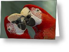 Scarlet Macaw Ara Macao Pair Kissing Greeting Card