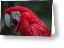 Scarlet Macaw Greeting Card by Fabio Giannini