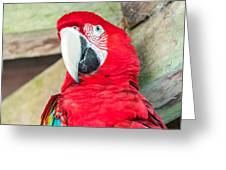 Scarlet Macaw Face Greeting Card