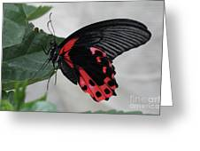 Scarlet Mormon Butterfly #2 Greeting Card
