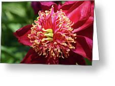 Scarlet Peony Greeting Card