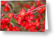 Scarlet Quince Blooms Greeting Card