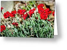 Scarlet Red Dianthus Greeting Card