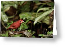 Scarlet Tanager In Costa Rica Greeting Card
