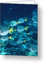School Of Surgeonfish Cruising Reef Greeting Card