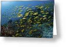 School Of Yellow Snapper, Great Barrier Greeting Card