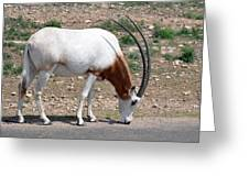 Scimitar Horned Oryx Greeting Card