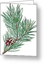 Scots Pine, Pinus Silvestris Greeting Card